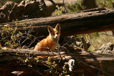 young fox by wildfotog