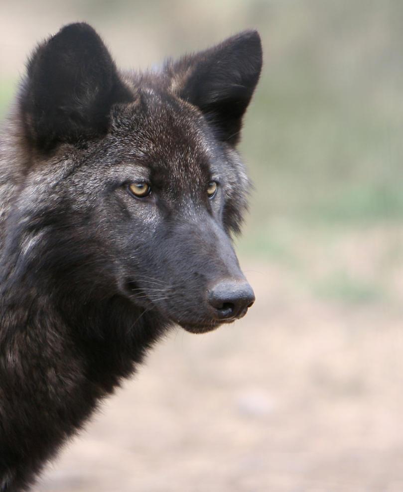 black wolf by wildfotog