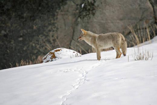 coyote in winter 3