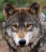 Wolf by wildfotog