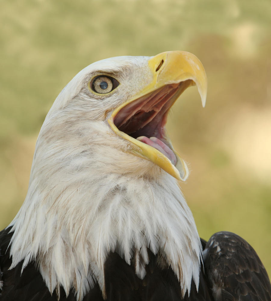 Eagle call 2 by wildfotog