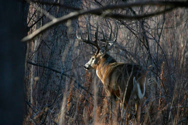 White-tail deer buck by wildfotog