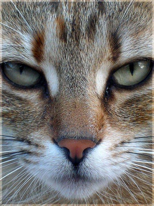 My Cat Dezsi by Fluwari
