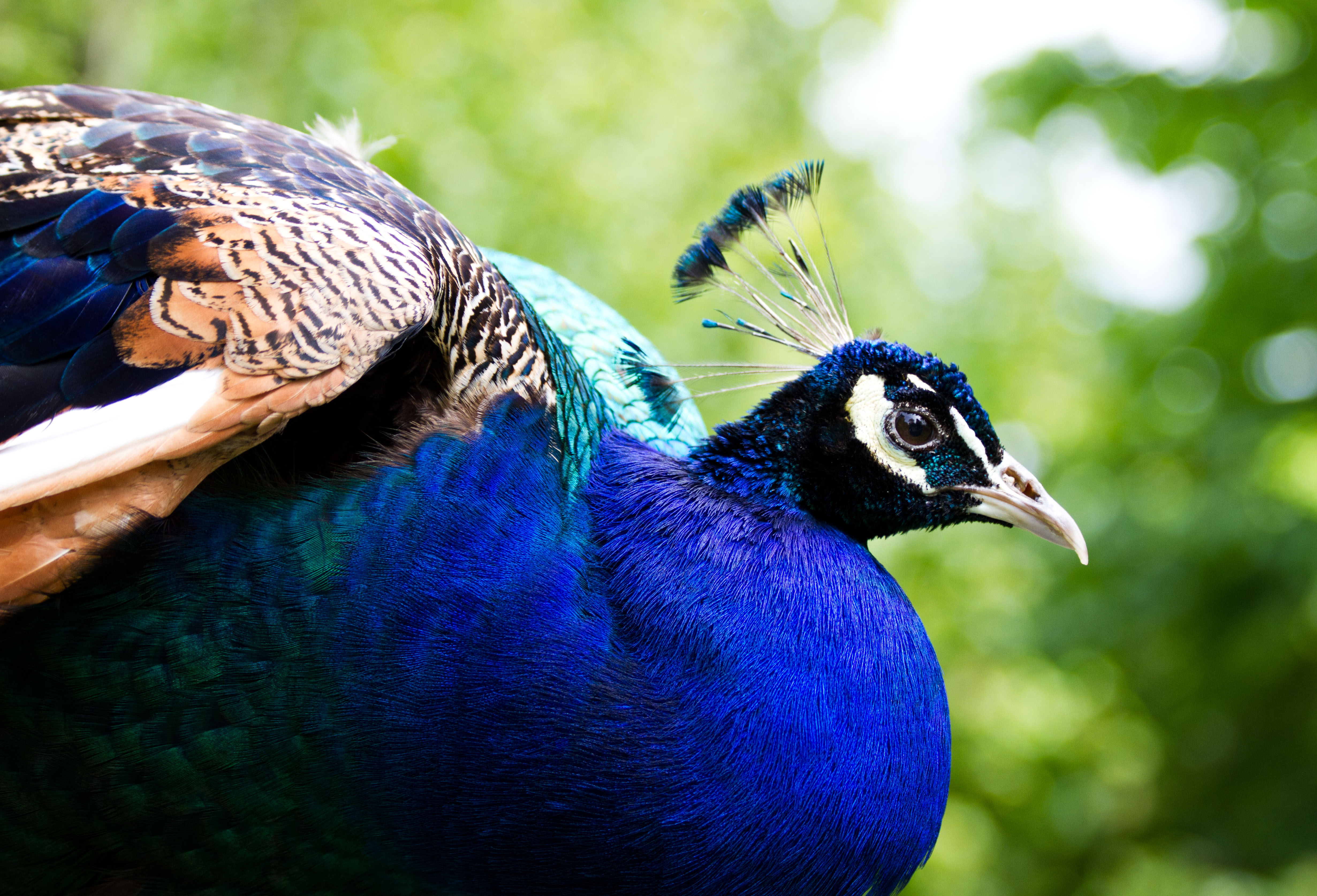 Peacock in spotlight by P-LinsenerFotografie