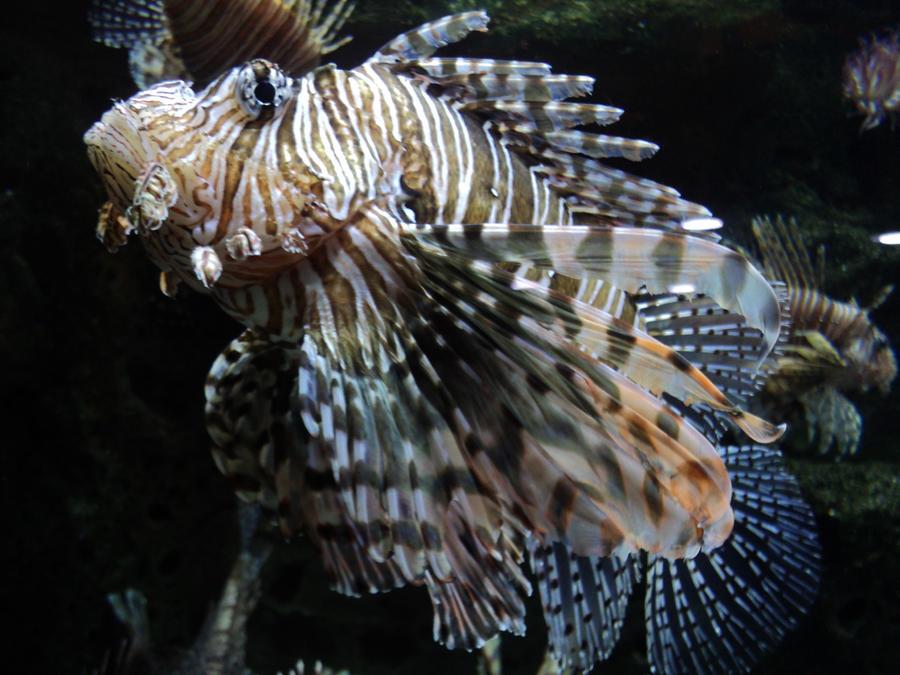 Lionfish wallpaper > Lionfish Papel de parede > Lionfish Fondos