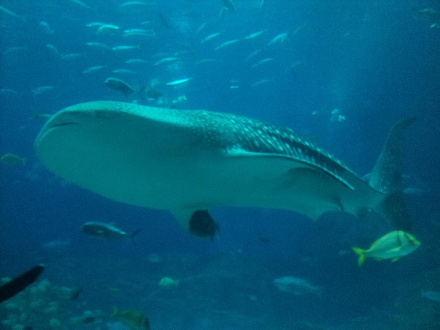 Whale shark wallpaper > Whale shark Papel de parede > Whale shark Fondos