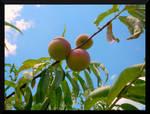 Oil Peaches