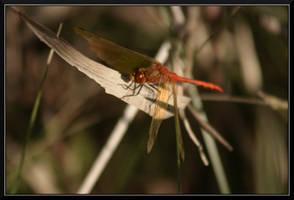 Red Dragon by mygreymatter