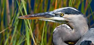 Great Blue Heron Portrait Shark Valley the Florida by MBKWildlifePhotos