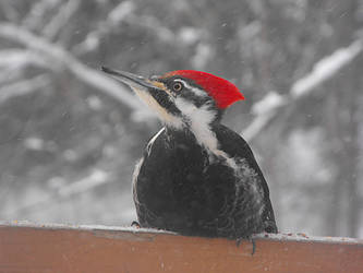 Reticulated Woodpecker by twila