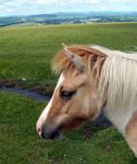 Young Dartmoor Pony