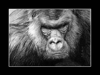 gorilla gorilla by ddntati