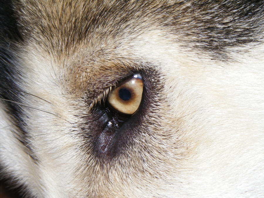 Malamute eye by DigitalissSTOCK