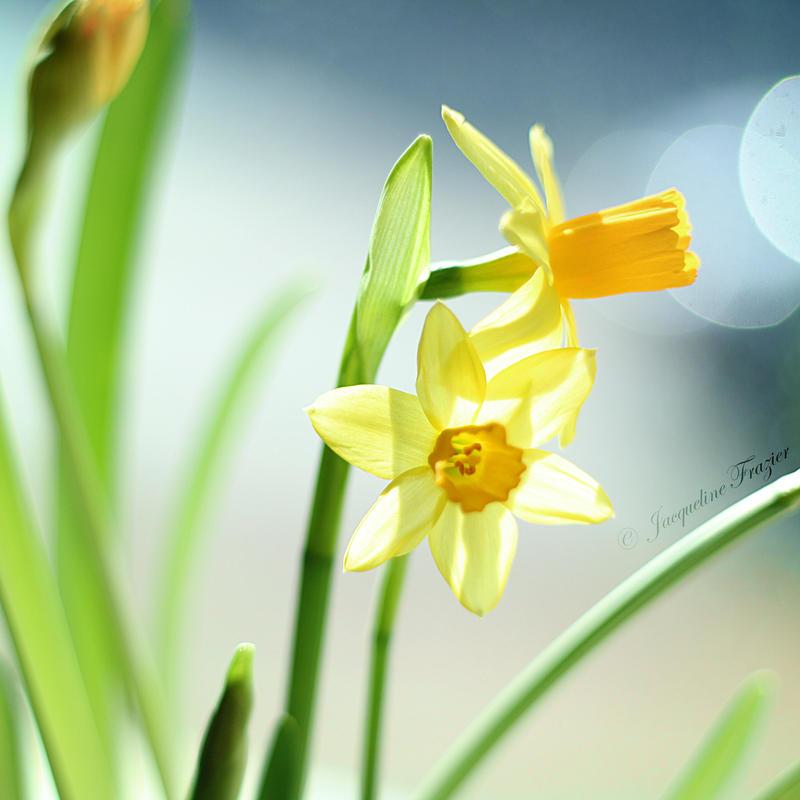 Daffodils by PetalDreams