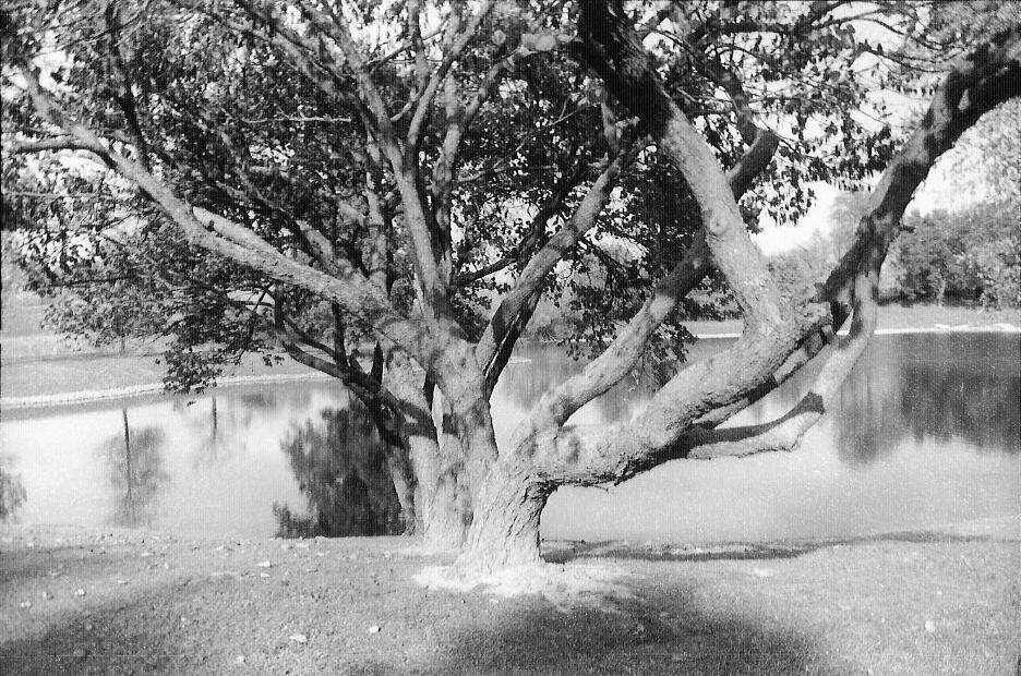 Two Old Trees by WurdBendur