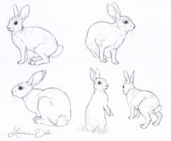 Wild Rabbit Study
