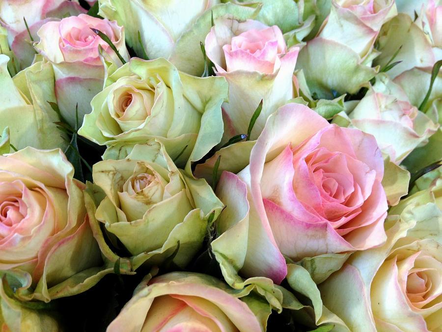 pink rose wallpaper for mobile
