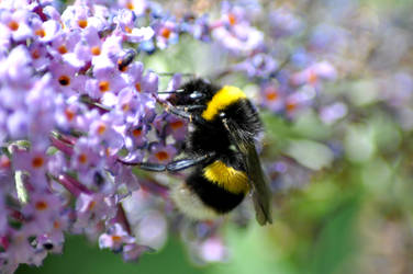 Busy Bee by Dicky-Mint