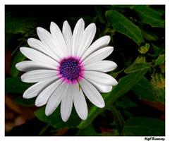 White Petals, Coloured Heart