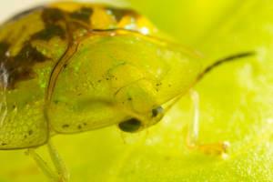 Tortoise Beetle Closeup