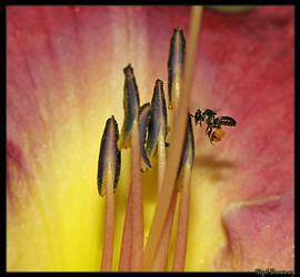 Native Bee Collecting Polan