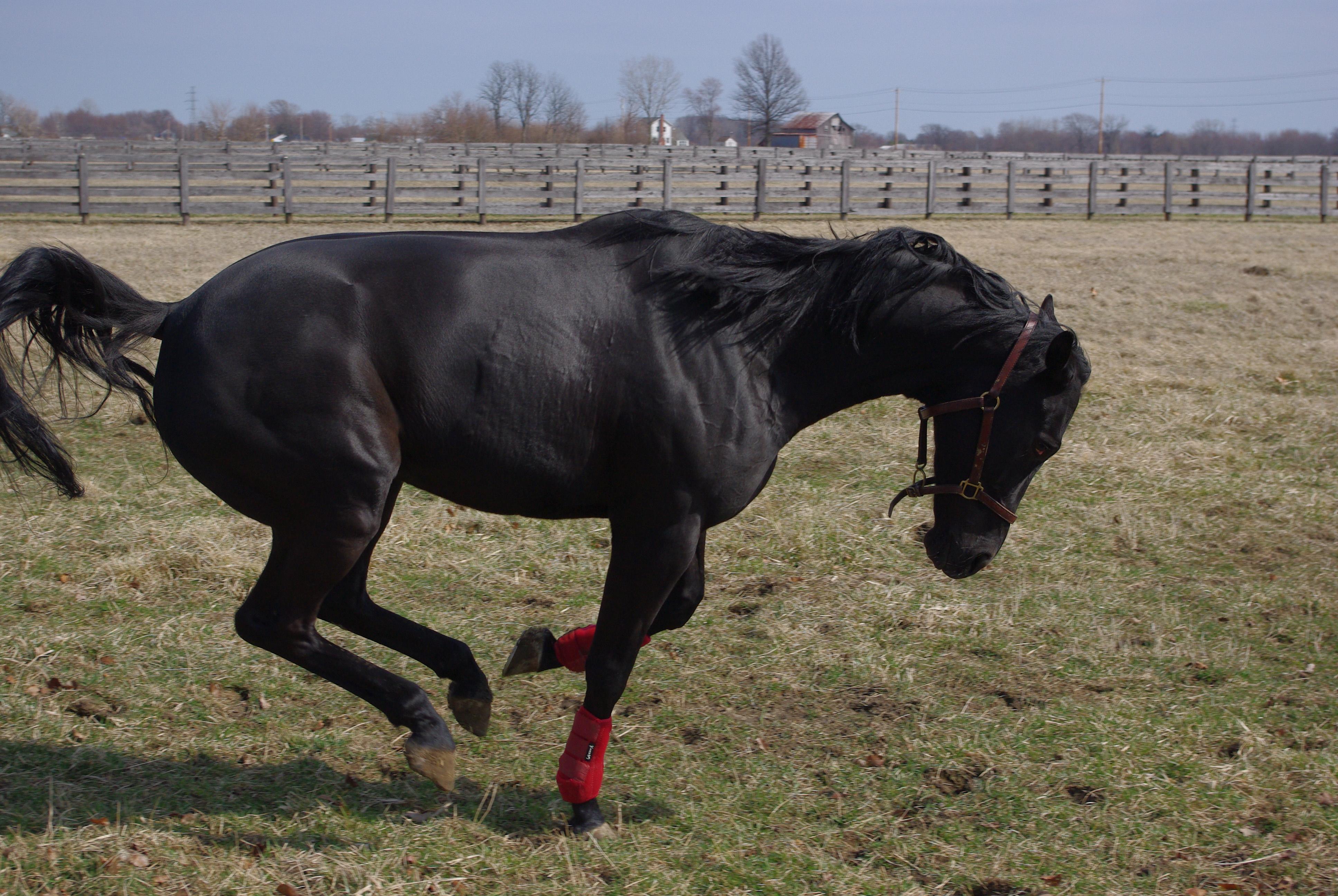 Black horse stock 1
