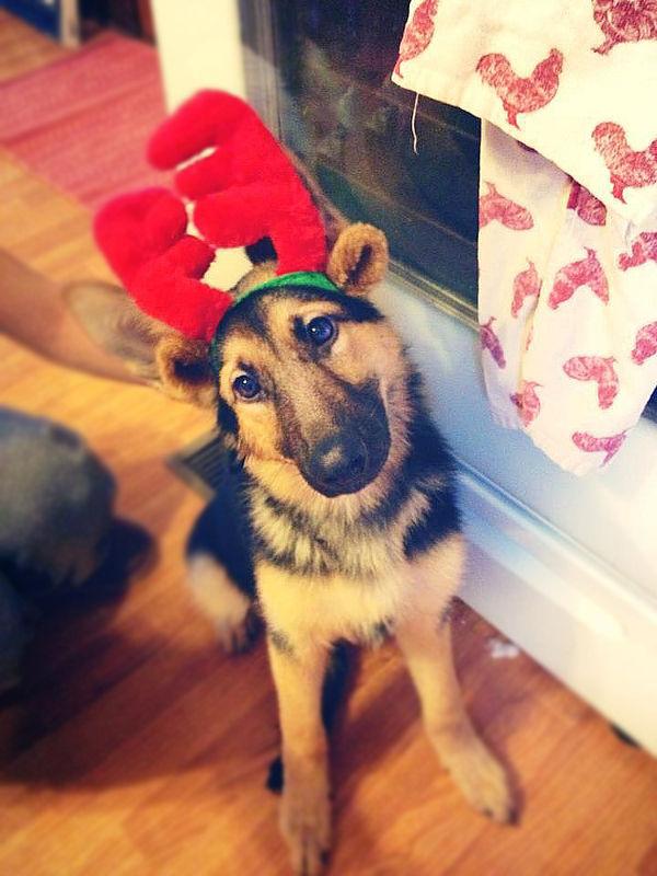 Reindeer Morgan