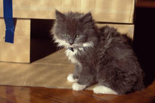Ishka the Kitten
