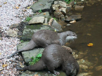 Otters... by EvynneWishes