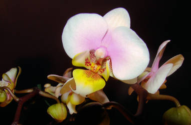Birthday Orchids 2