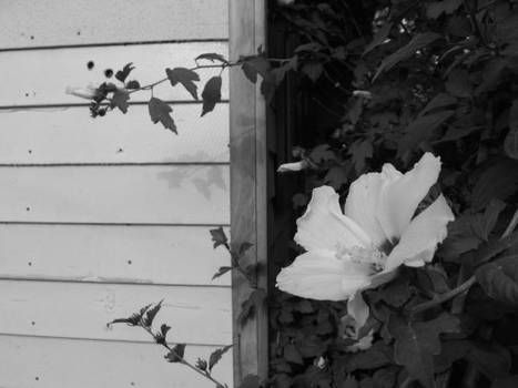 flower in black and white.