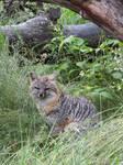Gray Fox 4 by DaybreaksDawn