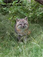 Gray Fox 14