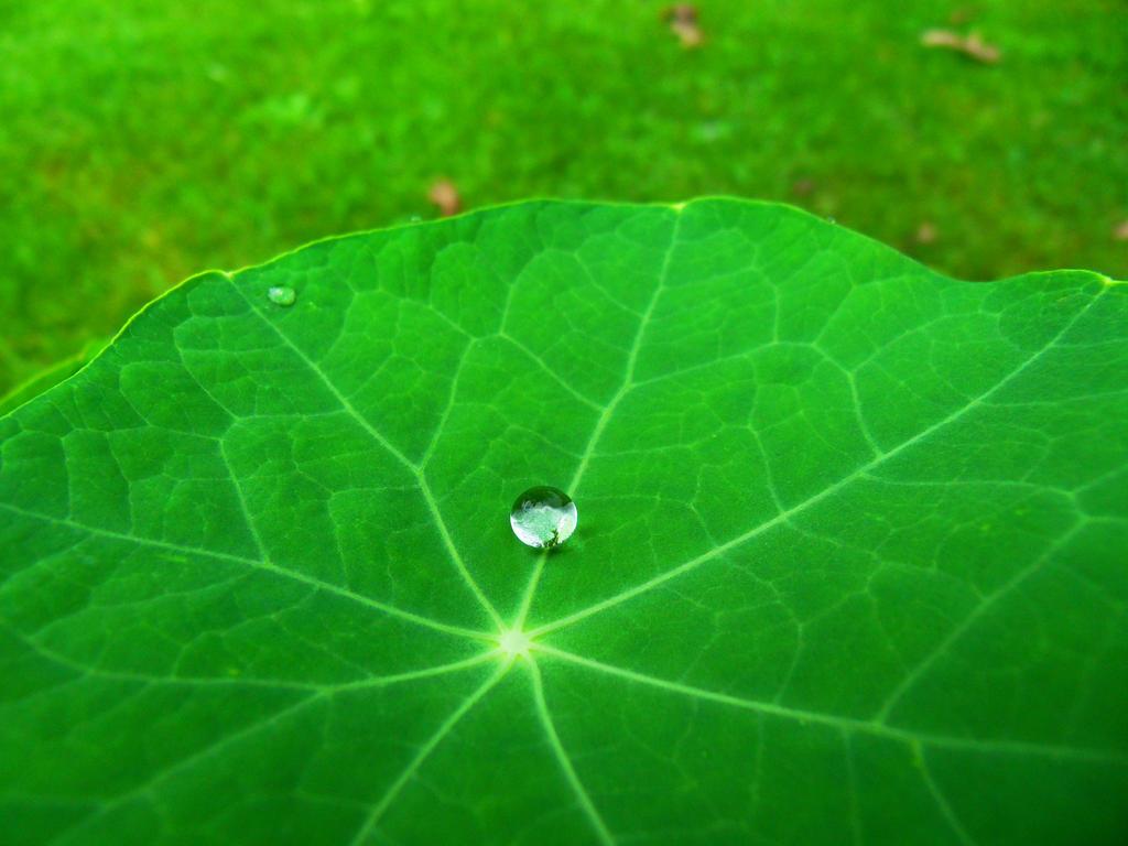 Nasturtium Droplet by Kadoka