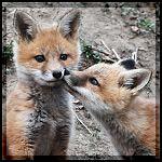 Fox Kiss by lartdenature