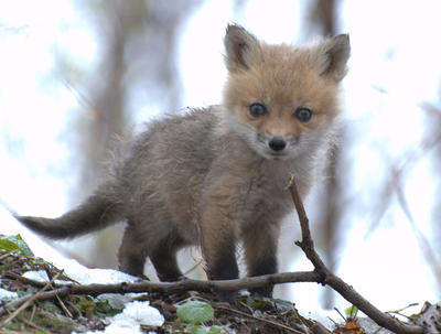Runt of the Red Fox Litter by lartdenature