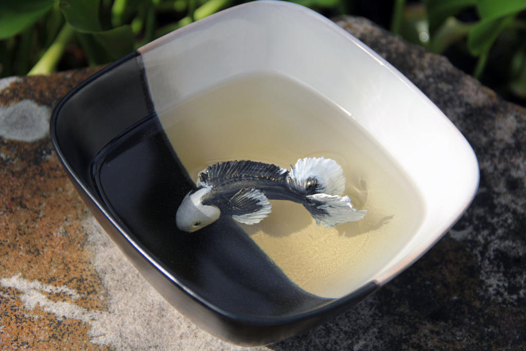 Black and white koi fish in a black and white bowl by for White koi fish for sale
