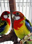 rozalia parrot 2