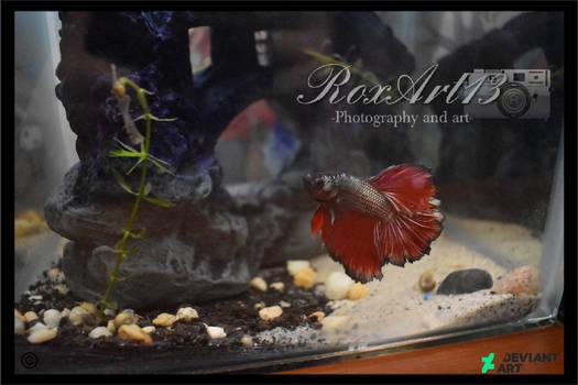 My baby: Ryu Fijiwara (Betta Delta)