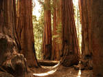 A Grove of Sequoia Trees