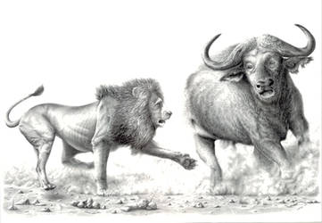 Lion chasing buffalo by daniluc78