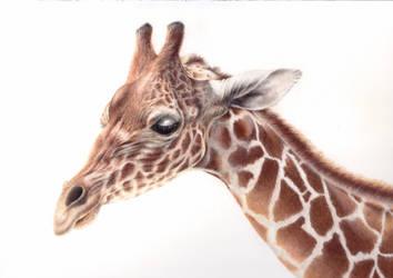 Giraffe by daniluc78
