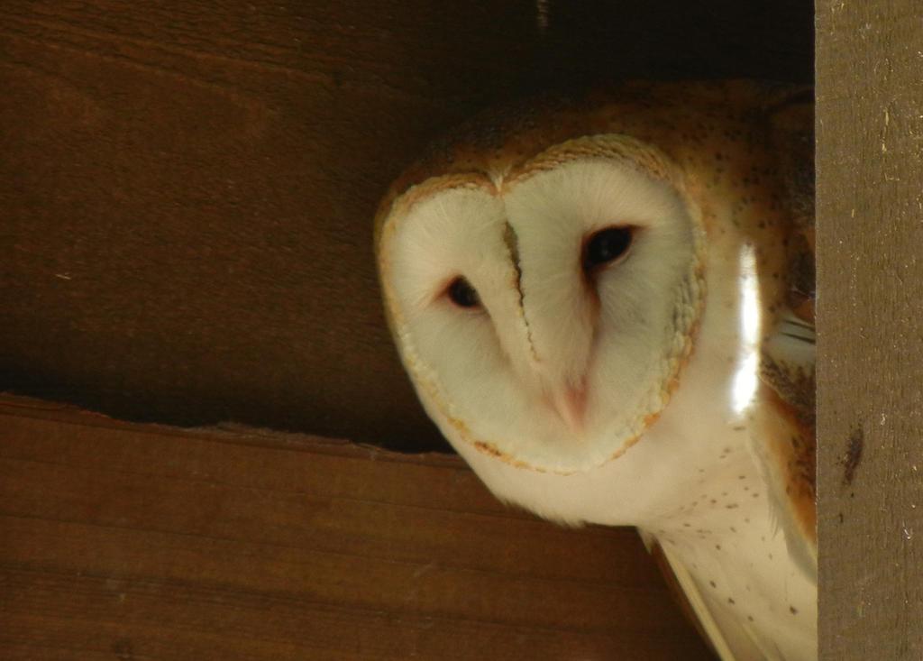 Beautiful Owl by elissadido