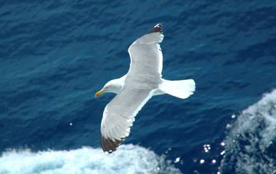 Elba Sea Gull