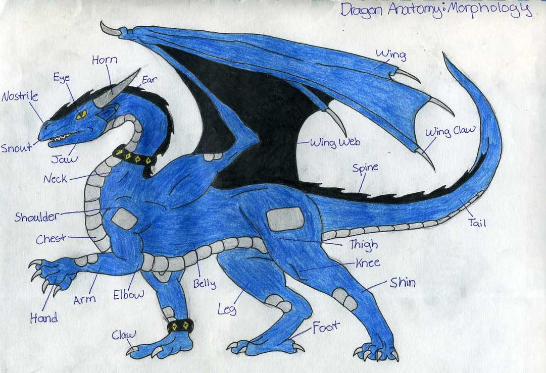 Dragon Anatomy: Morphology by Wyldfire7 on DeviantArt
