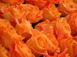 orange roses by melloncolliebaby