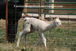 Cria 21 *Alpaca Baby*