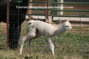 Cria 21 *Alpaca Baby* by FantasyDesignStock2