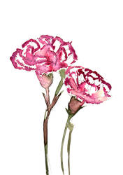 Carnation Watercolour by daniellekenyon