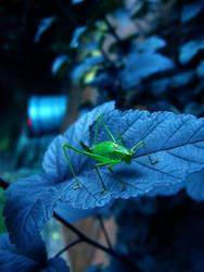grasshopper on blue leaf by KitECatt